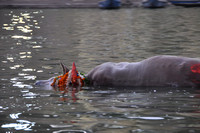 Blessed Dead Cow in Ganges